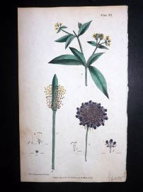Nodder & Martyn 1794 Hand Col Botanical Print. Small Scabious